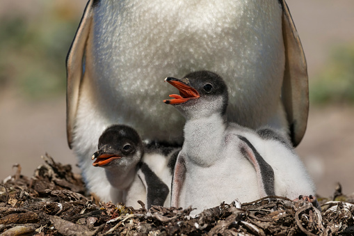 Falkland Islands「Gentoo penguin colony, Flakland Islands」:スマホ壁紙(6)