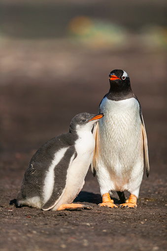 Falkland Islands「Gentoo penguin colony, Flakland Islands」:スマホ壁紙(8)