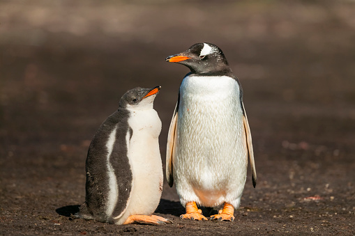 Falkland Islands「Gentoo penguin colony, Flakland Islands」:スマホ壁紙(4)