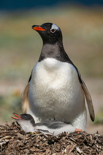 Falkland Islands「Gentoo penguin colony, Flakland Islands」:スマホ壁紙(1)