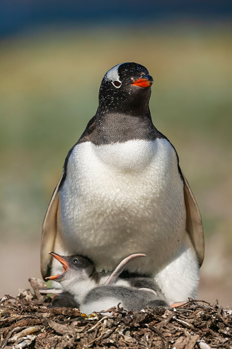 Falkland Islands「Gentoo penguin colony, Flakland Islands」:スマホ壁紙(2)