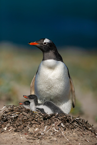 Falkland Islands「Gentoo penguin colony, Flakland Islands」:スマホ壁紙(3)