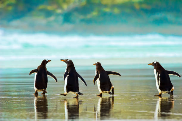 Gentoo penguins (Pygoscelis papua) walking on the wet sand, The Neck:スマホ壁紙(壁紙.com)