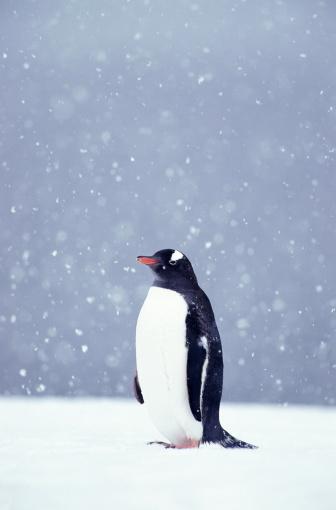Gentoo Penguin「Gentoo penguin (Pygoscelis papua)」:スマホ壁紙(9)