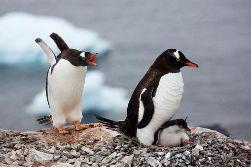 Gentoo Penguin「Gentoo penguins with teenage chick in nest」:スマホ壁紙(5)