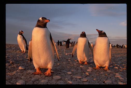 Falkland Islands「Gentoo Penguins at Sunset」:スマホ壁紙(1)