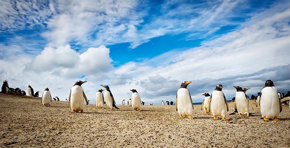 Falkland Islands「Gentoo penguins (Pygoscelis papua), The Neck」:スマホ壁紙(3)