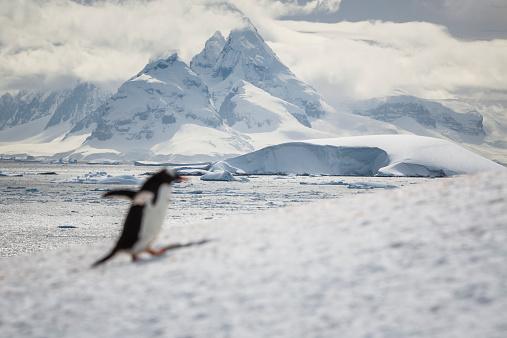 Focus On Background「Gentoo penguin (Pygoscelis papua), Booth Island」:スマホ壁紙(8)