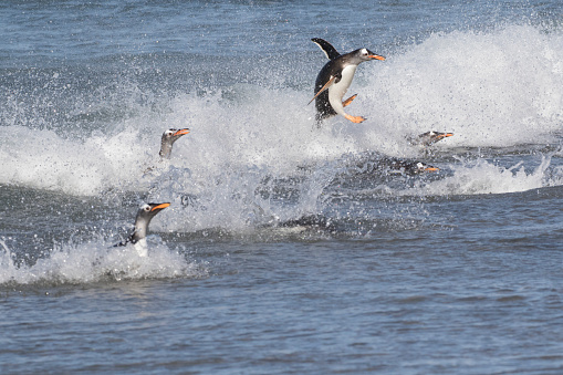 Falkland Islands「Gentoo Penguin Jumping to Shore with Other Penguins in the Surf」:スマホ壁紙(11)