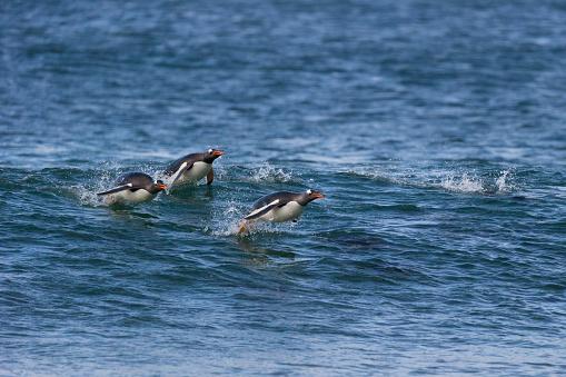 Falkland Islands「Gentoo Penguin」:スマホ壁紙(5)
