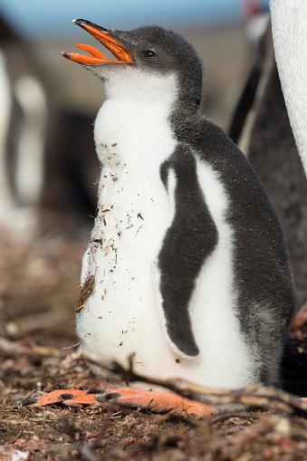 Falkland Islands「Gentoo Penguin」:スマホ壁紙(11)