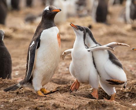 Falkland Islands「Gentoo Penguin」:スマホ壁紙(3)