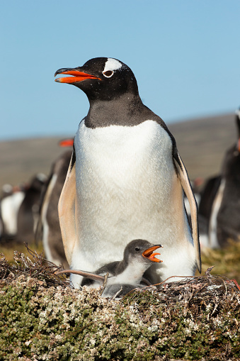 Falkland Islands「Gentoo Penguin」:スマホ壁紙(12)