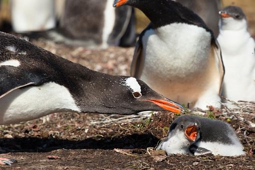 Falkland Islands「Gentoo Penguin」:スマホ壁紙(10)