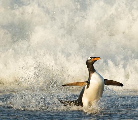 Falkland Islands「Gentoo Penguin」:スマホ壁紙(4)