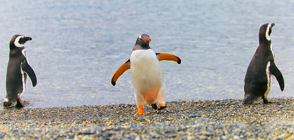 Walking「Gentoo Penguin group dancing along on a secluded beach, Tierra Del fuego, Argentina – South America」:スマホ壁紙(14)
