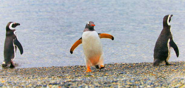Gentoo Penguin group dancing along on a secluded beach, Tierra Del fuego, Argentina – South America:スマホ壁紙(壁紙.com)