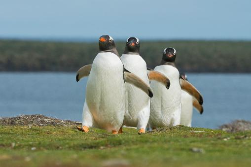 Falkland Islands「Gentoo Penguins, marching to colony, Falkland islands」:スマホ壁紙(19)