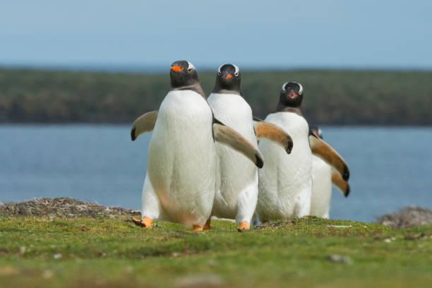 Gentoo Penguins, marching to colony, Falkland islands:スマホ壁紙(壁紙.com)