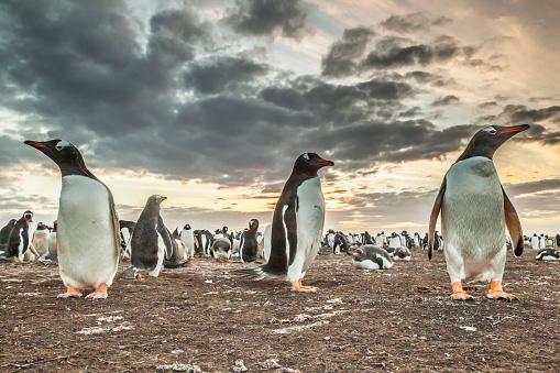 Falkland Islands「Gentoo penguin (Pygoscelis papua) colony at sunset, Bleaker Island, Falkland Islands」:スマホ壁紙(11)