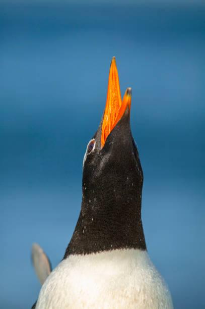 Gentoo penguin (Pygoscelis papua):スマホ壁紙(壁紙.com)