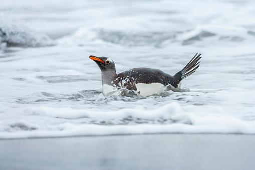 Falkland Islands「Gentoo Penguin (Pygoscelis papua papua)」:スマホ壁紙(2)