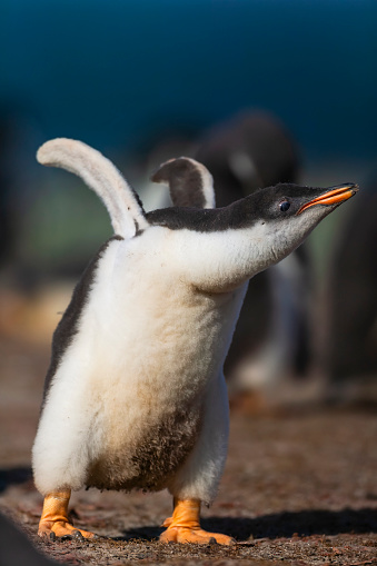 Falkland Islands「gentoo penguin (Pygoscelis papua)」:スマホ壁紙(5)