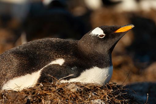 Falkland Islands「Gentoo Penguin (Pygoscelis papua papua)」:スマホ壁紙(19)