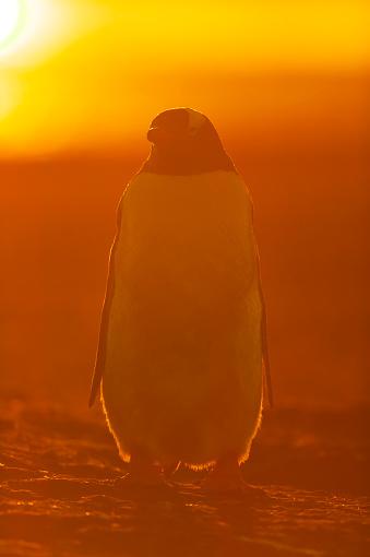 Falkland Islands「gentoo penguin (Pygoscelis papua)」:スマホ壁紙(10)