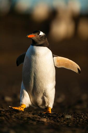 Falkland Islands「gentoo penguin (Pygoscelis papua)」:スマホ壁紙(18)