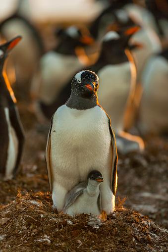 Falkland Islands「Gentoo Penguin (Pygoscelis papua papua)」:スマホ壁紙(12)