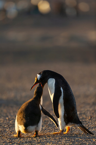 Falkland Islands「gentoo penguin (Pygoscelis papua)」:スマホ壁紙(9)