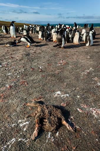Falkland Islands「gentoo penguin (Pygoscelis papua)」:スマホ壁紙(13)