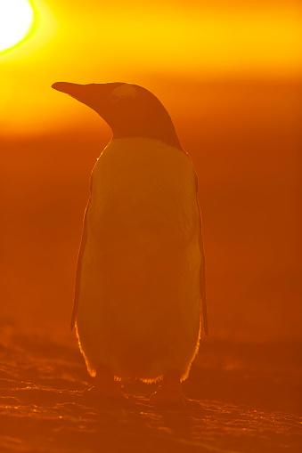 Falkland Islands「gentoo penguin (Pygoscelis papua)」:スマホ壁紙(1)