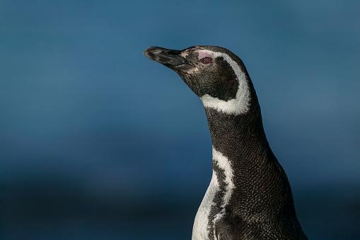 Falkland Islands「Gentoo penguin (Pygoscelis papua)」:スマホ壁紙(7)