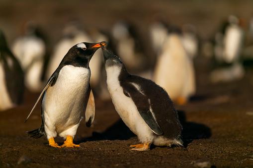 Falkland Islands「gentoo penguin (Pygoscelis papua)」:スマホ壁紙(4)
