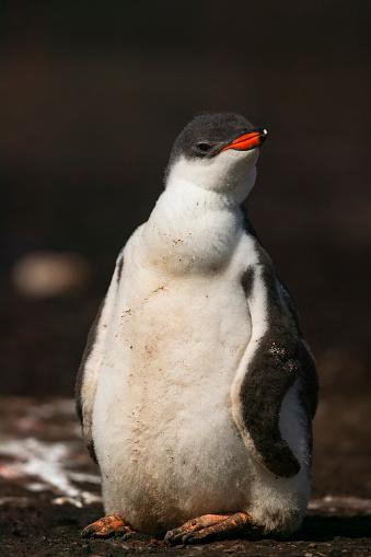 Falkland Islands「gentoo penguin (Pygoscelis papua)」:スマホ壁紙(8)