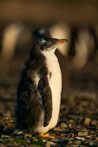 Falkland Islands「gentoo penguin (Pygoscelis papua)」:スマホ壁紙(6)