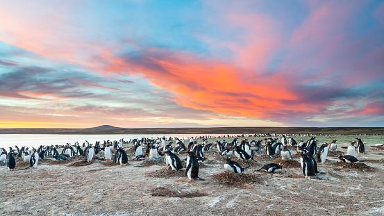 Falkland Islands「Gentoo Penguin (Pygoscelis papua papua)」:スマホ壁紙(14)
