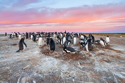Falkland Islands「Gentoo Penguin (Pygoscelis papua papua)」:スマホ壁紙(13)