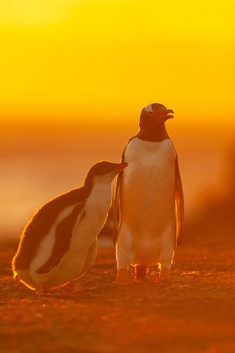 Falkland Islands「gentoo penguin (Pygoscelis papua)」:スマホ壁紙(11)
