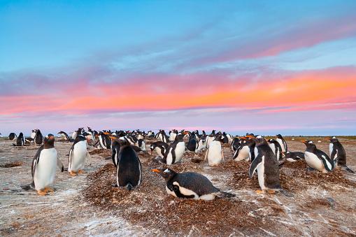 Falkland Islands「Gentoo Penguin (Pygoscelis papua papua)」:スマホ壁紙(17)