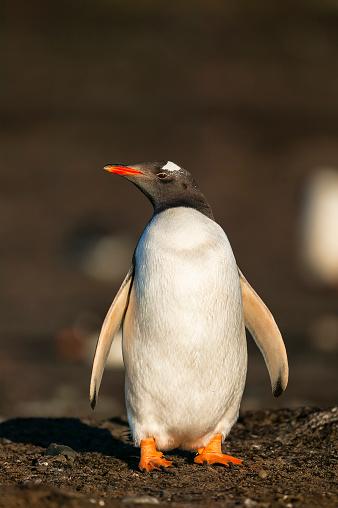 Falkland Islands「gentoo penguin (Pygoscelis papua)」:スマホ壁紙(19)