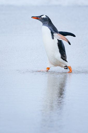 Falkland Islands「Gentoo Penguin on the beach」:スマホ壁紙(6)