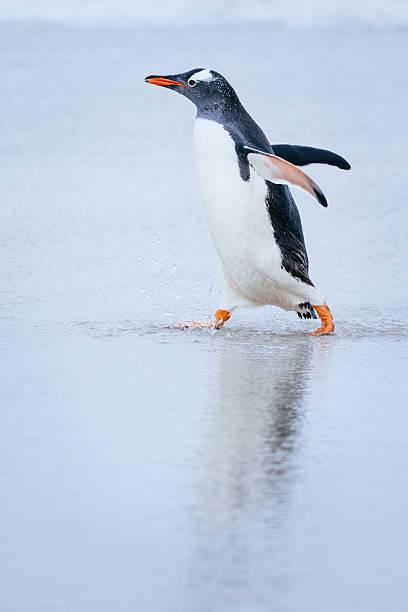 Gentoo Penguin on the beach:スマホ壁紙(壁紙.com)