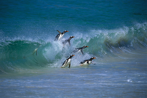 Falkland Islands「Gentoo Penguins in Ocean Surf」:スマホ壁紙(6)