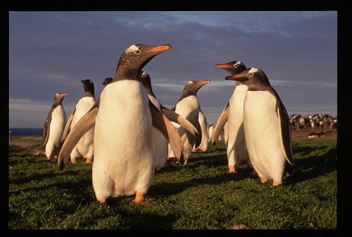 Falkland Islands「Gentoo Penguins」:スマホ壁紙(6)