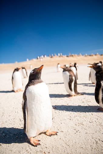 Falkland Islands「Gentoo penguins」:スマホ壁紙(7)