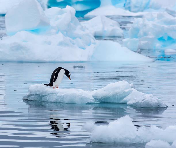 Gentoo penguin standing on an ice floe in Antarctica:スマホ壁紙(壁紙.com)