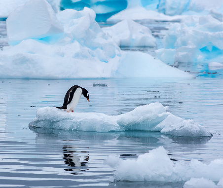 野生動物「Gentoo penguin standing on an ice floe in Antarctica」:スマホ壁紙(6)